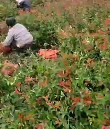 江蘇省宿遷市沭陽縣 苗圃量大種植紅葉石楠杯苗
