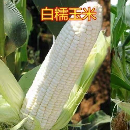 河南省鄭州市二七區 白糯玉米種子 萬糯2000  抗病豐產30元一斤 2斤一畝地