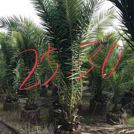 云南省昆明市官渡区 加拿利海枣树