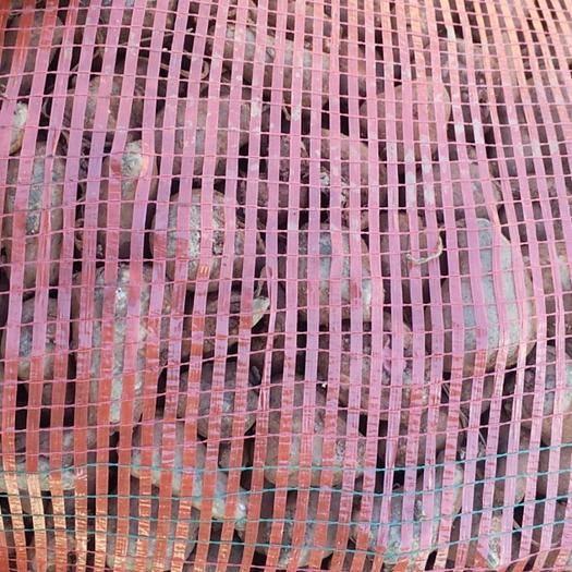 云南省迪慶藏族自治州維西傈僳族自治縣魔芋種 花魔芋