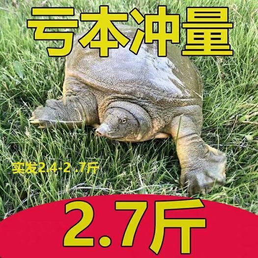 江蘇省南京市六合區 大甲魚活體包郵生態鱉中華鱉水魚王八團魚滋補