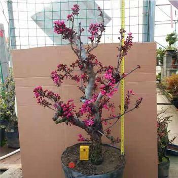 海棠花 嫁接海棠盆栽地栽 品种齐全 南北方种植