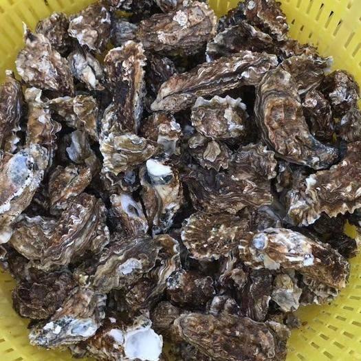 河北省唐山市曹妃甸區 野生牡蠣貨好價不高