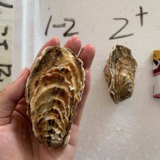 山東省威海市乳山市 乳山牡蠣生蠔大中小規格齊全產地直發