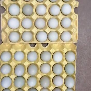 绿壳鸡蛋 绿壳蛋420枚每件