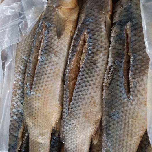 山東省濱州市沾化區 野生新鮮大梭魚