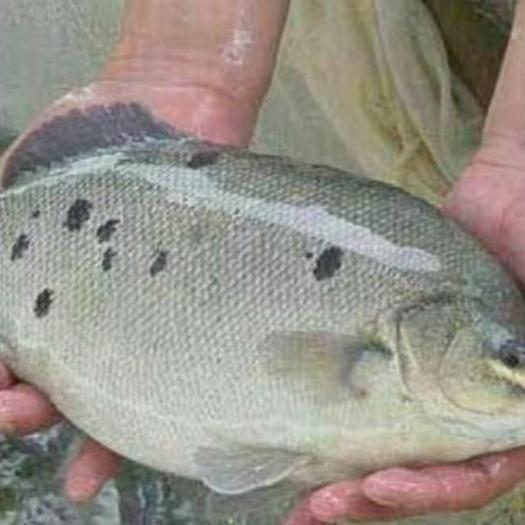 廣東省廣州市花都區 澳洲寶石鱸魚苗十供自孵水花