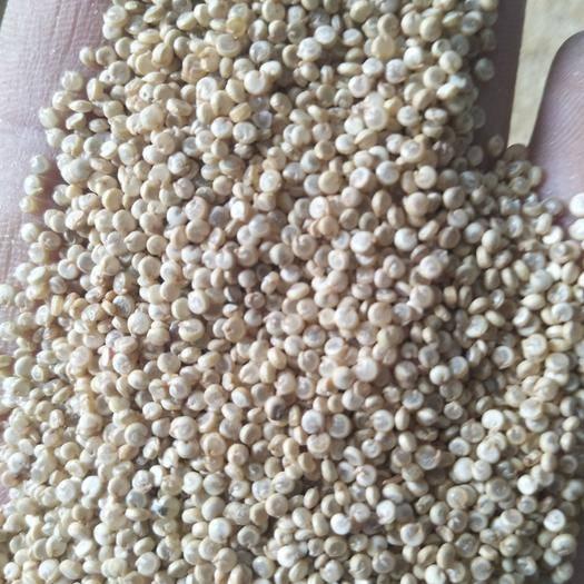 山西省忻州市靜樂縣 灰藜麥