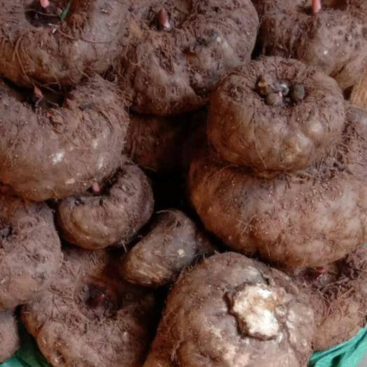 云南省玉溪市通海縣魔芋種 提供種植計術,上門回收
