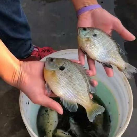 廣東省廣州市花都區 藍鰓太陽魚苗十供自孵水花