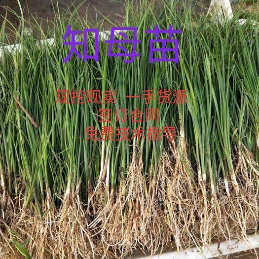 安徽省亳州市譙城區 中藥材知母種子知母種苗知母籽