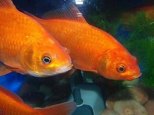 廣東省廣州市花都區 紅鯉魚苗十供自孵水花