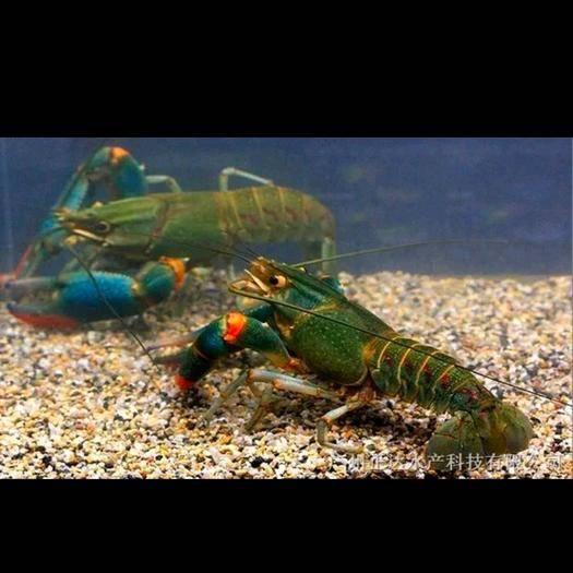 廣東省清遠市清城區澳洲淡水龍蝦 進口 0.4-0.6斤/只 人工飼養