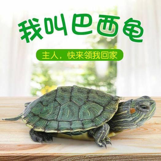 湖南省益陽市南縣 【免費送】巴西龜苗一對兩只付郵贈送送龜糧