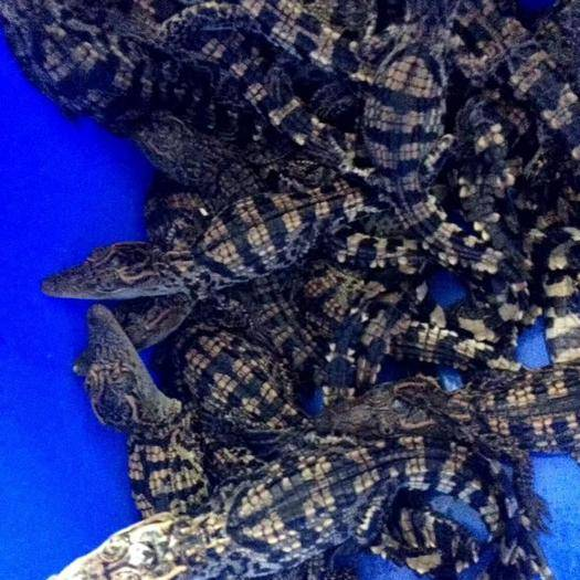 廣東省廣州市荔灣區 寵物鱷魚苗和各類養殖野味系列大量現貨