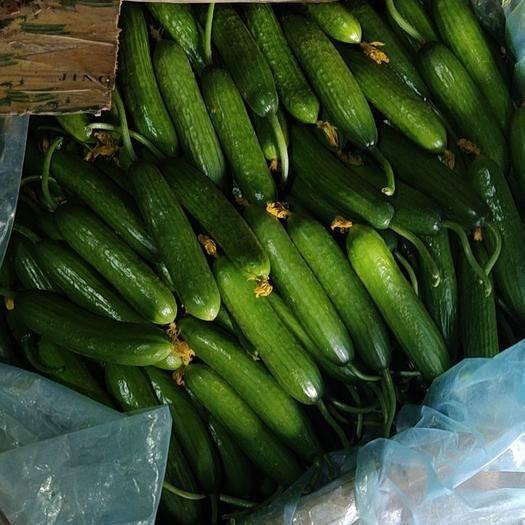 山東省濰坊市壽光市 精品水果黃瓜