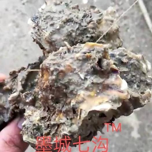 山東省青島市即墨區 青島墨城七溝野生牡蠣