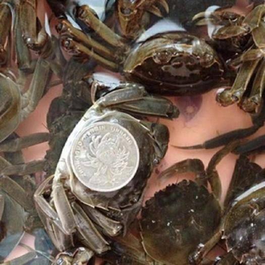 遼寧省盤錦市盤山縣稻田大閘蟹 稻田蟹,可做干鍋小螃蟹,香辣小螃蟹