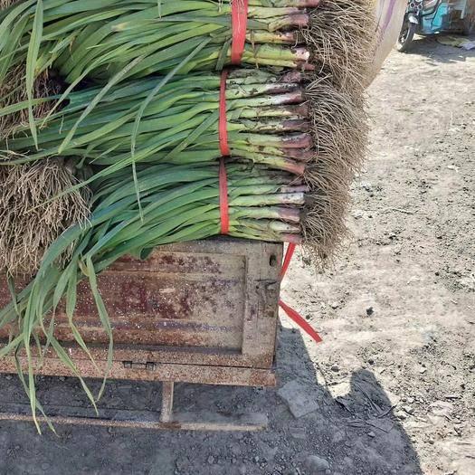 河南省安陽市內黃縣 內黃精品紅根蒜苗大量上市了質量好價格便宜了