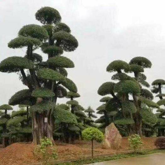 湖北省荊門市京山市 對節白蠟樹形美,易造型,耐修剪,好種植