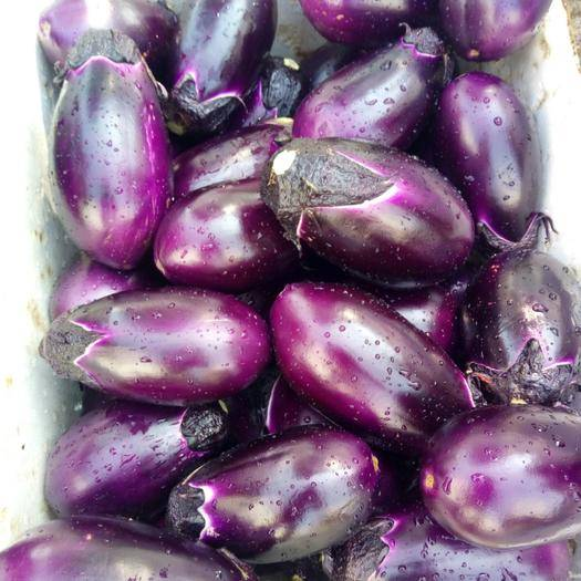 廣西壯族自治區梧州市岑溪市紫光圓茄 一手貨源