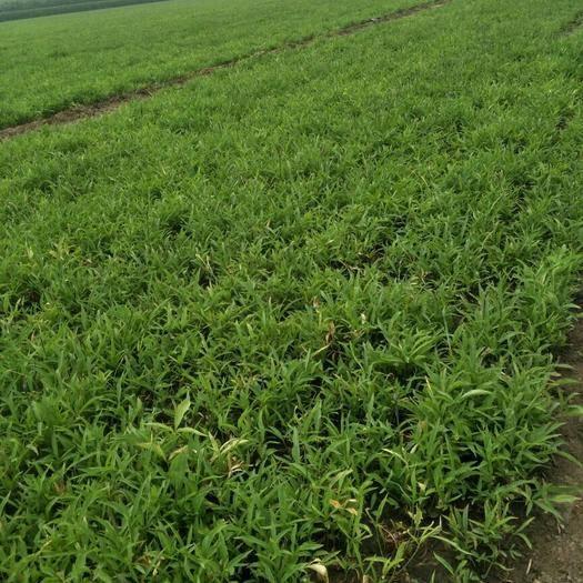 河北省石家莊市深澤縣 優良小桃葉旱半夏種球,價格優惠全程包種植成功