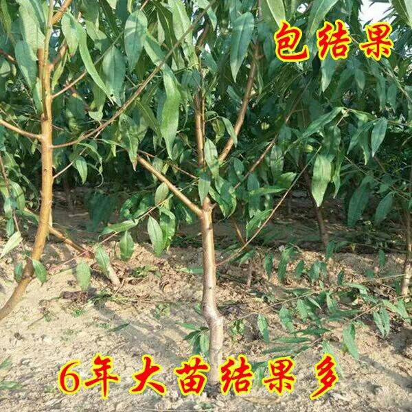 晚熟桃樹苗巨型冬桃雪里紅冬桃苗中華桃王云南冬桃樹苗南北方