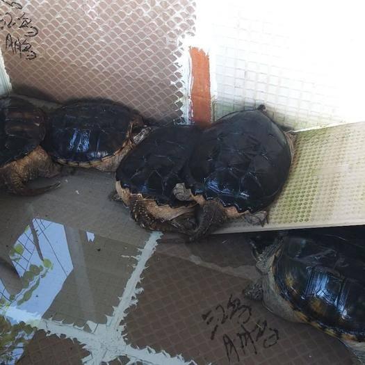 云南省紅河哈尼族彝族自治州金平苗族瑤族傣族自治縣大鱷龜 肉鱷龜