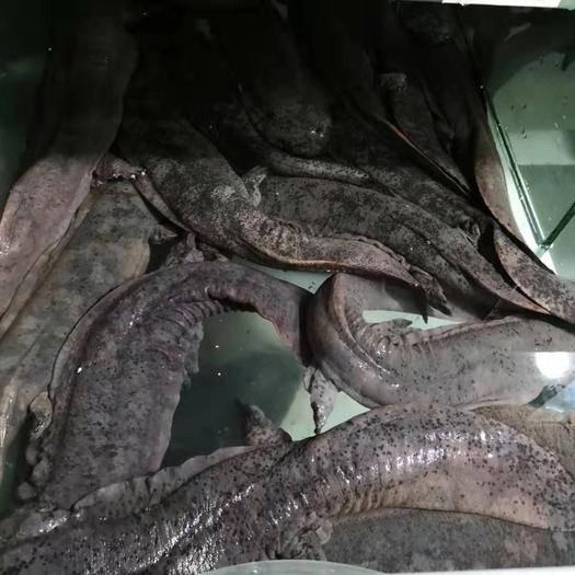 廣西壯族自治區柳州市融水苗族自治縣 生態養殖娃娃魚