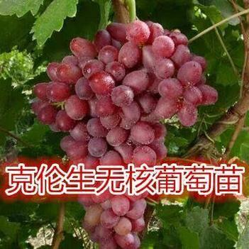 克伦生无核葡萄苗 克瑞森无核葡萄树苗包邮晚熟新品种果树苗