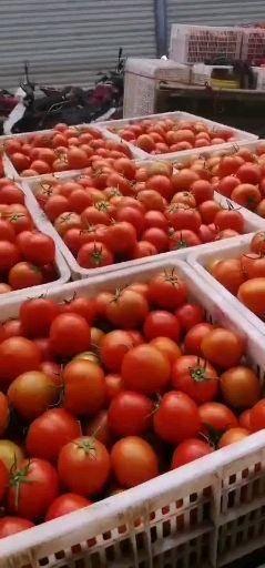 云南省楚雄彝族自治州元謀縣 精品大紅西紅柿