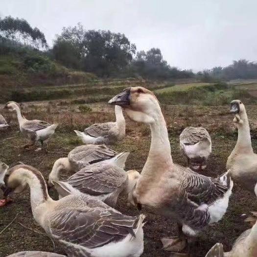廣西壯族自治區南寧市西鄉塘區 標題,合浦獅頭鵝苗