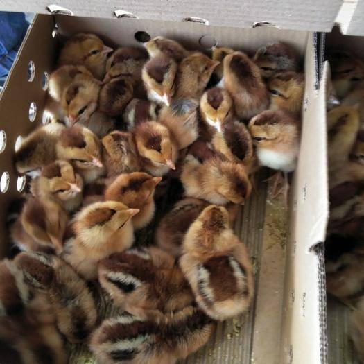 廣西壯族自治區南寧市西鄉塘區 靈山土雞苗,歡迎全國各地養雞戶訂購。
