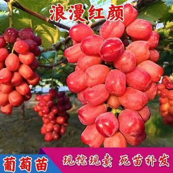 嫁接浪漫红颜葡萄苗 新品种葡萄树苗大果粒南方北方种植 庭院
