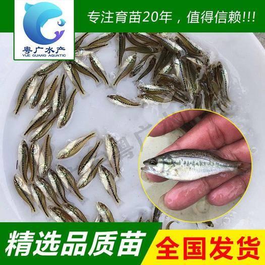 廣東省廣州市花都區加州鱸魚苗 3至6厘米鱸魚水花 自產自銷質量保證 技術支持