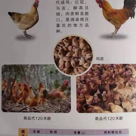 廣東省廣州市白云區土雞苗 紅冠烏皮土雞母(100天3.6斤)