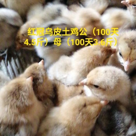 廣東省廣州市白云區土雞苗 紅冠烏皮土雞公(100天4.5斤)母(100天3.6斤)雞
