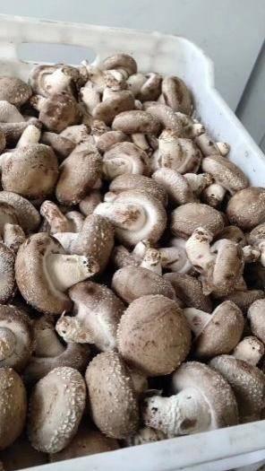 河南省三门峡市卢氏县香菇菌种