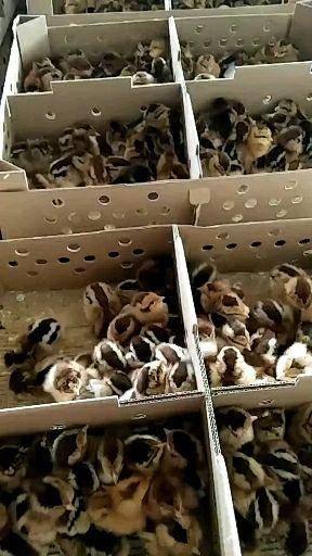 廣西壯族自治區南寧市西鄉塘區靈山土雞 歡迎各大養殖戶訂購靈山土。