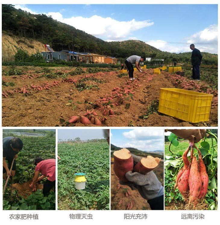 山東煙薯25地瓜蜜薯紅心沙土現挖對接電商微商拼團一件代發