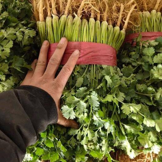 山東省聊城市東昌府區 山東聊城萬畝香菜大量上市需要的聯系我長期合作