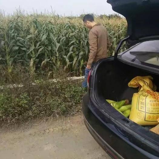 廣東省惠州市博羅縣 自家種的甜玉米