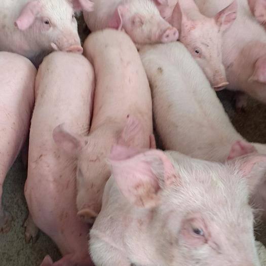 廣西壯族自治區百色市靖西市土白豬苗 土白,豬,35斤以上