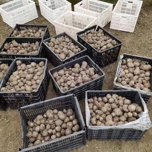 貴州省遵義市匯川區魔芋種 花魔芋魔芋一代種子
