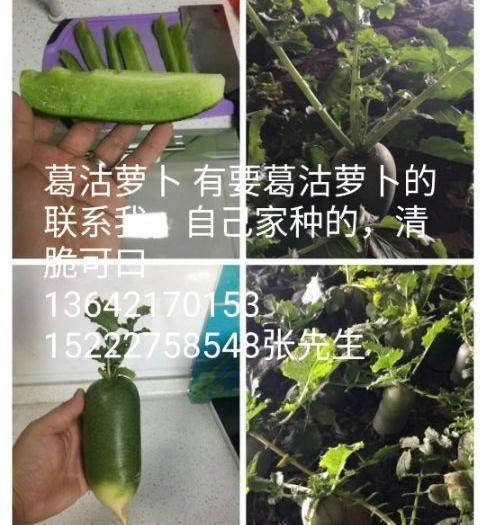 天津市津南區 葛沽蘿卜自產自銷清脆可口,這是去年的照片,今年還沒有來得及拍