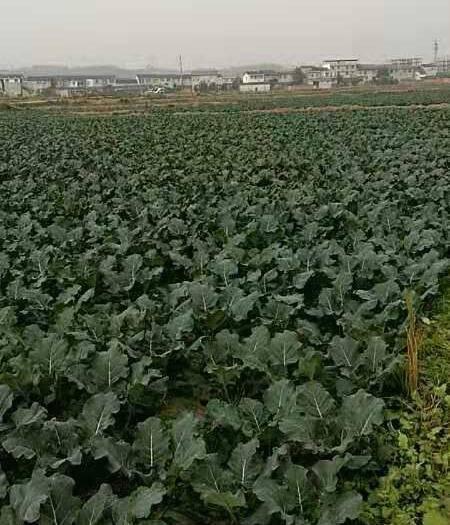 四川省綿陽市江油市 成長中的耐寒優秀西蘭花,12月底上市