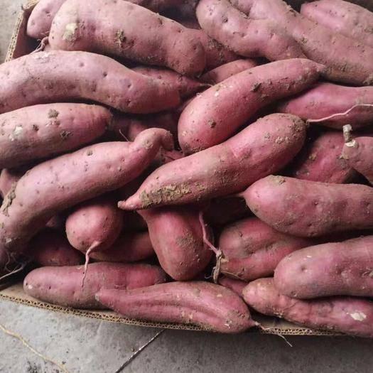 遼寧省錦州市凌海市早豐紅薯 什么樣的價格什么樣的貨!歡迎采購!