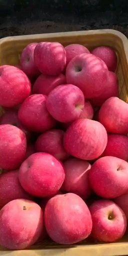 山東省威海市文登區紅富士蘋果 紅富士