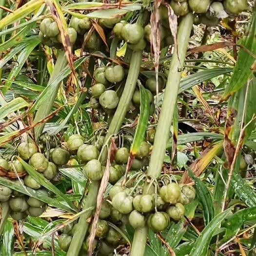 云南省普洱市墨江哈尼族自治縣黃精種子 95%以上