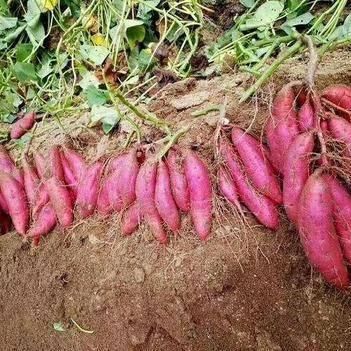西瓜紅 混裝通貨 紅皮